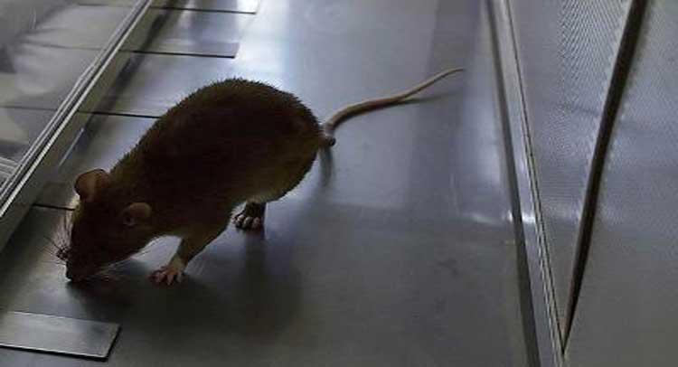 चूहों के आंतक से बंद होगी मेट्रो में खाने पीने की दुकाने, अपनी नई पॉलिसी