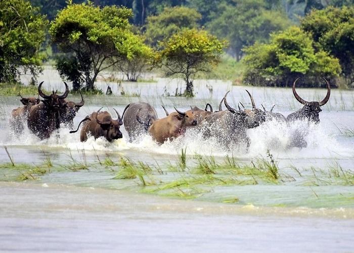 बाढ़ से तबाह हुआ काजीरंगा पार्क, 47 जीवों की मौत देखें तस्वीरें...