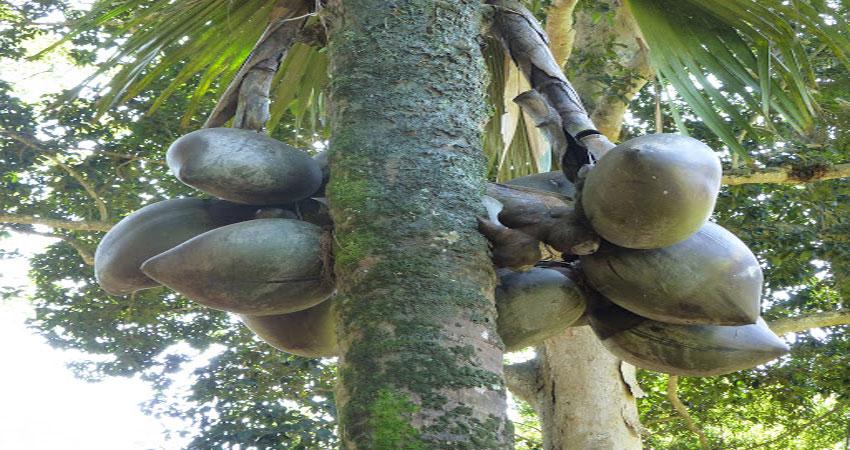 दरियाई नारियल के पेड़ पर 126 साल बाद आए फल