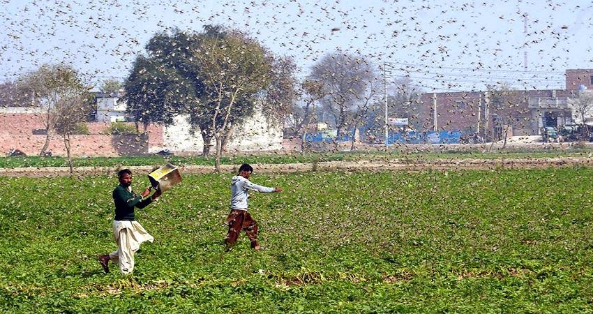 locust attack: बचाव के लिए दिल्ली सरकार ने जारी की एडवाइजरी, जानें क्या है आदेश