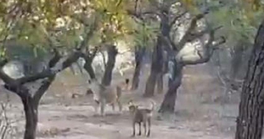 Video में देखिए इस कुत्ते की हिम्मत जो भिड़ गया शेरनी से