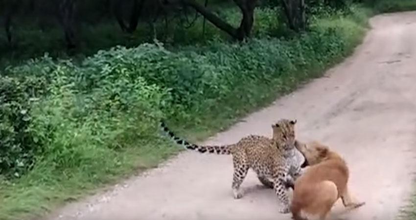 तेंदुए और कुत्ते के बीच ऐसी लड़ाई आपने कभी नहीं देखी होगी, देखें Viral Video