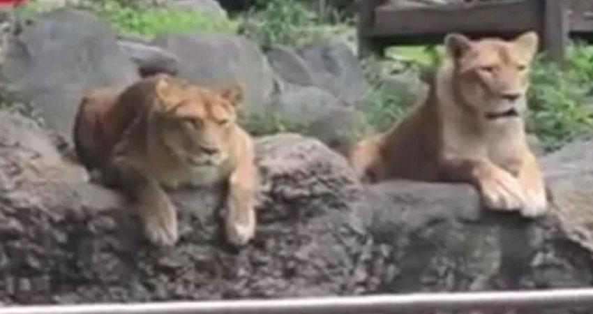 जब असली शेर आ जाए तो बचने के लिए ये उठाएं कदम, देखें वीडियो