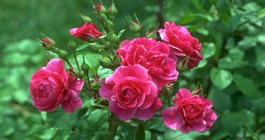 फूलों से पड़ता है किस्मत पर प्रभाव, जानें कौन-सा पुष्प रखें पास