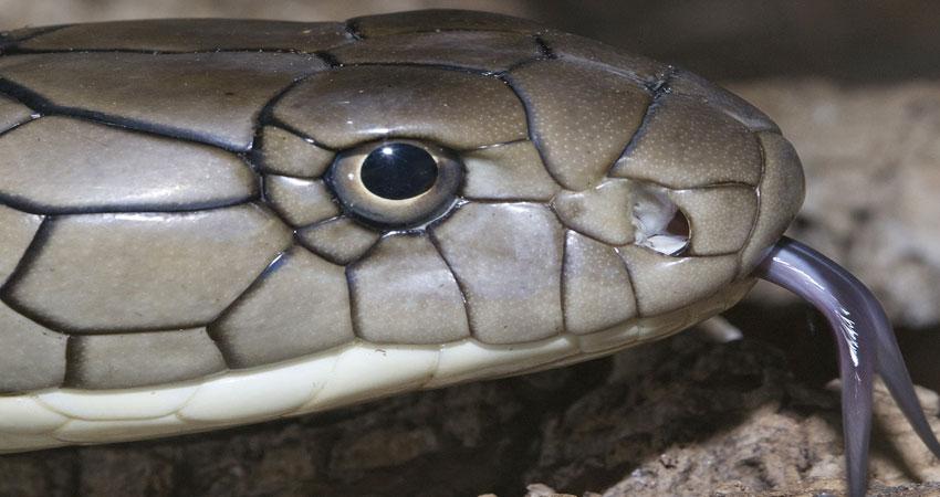 किंग कोबरा को इस सिपाही ने ऐसे किया काबू, कमजोर दिल वाले ना देखें वीडियो..