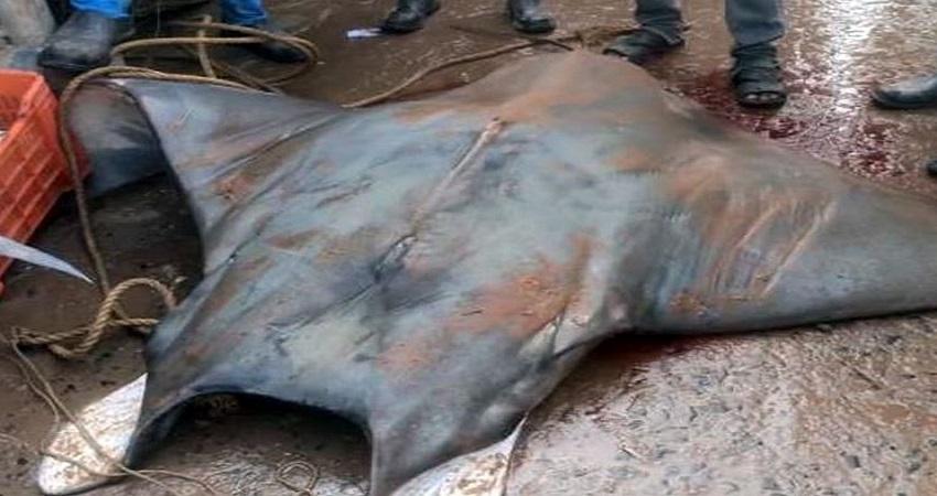 फिशरमैन के जाल में फंसी 800 किलोग्राम  की दुर्लभ मछली,  20 लाख रुपये में हुई बिक्री