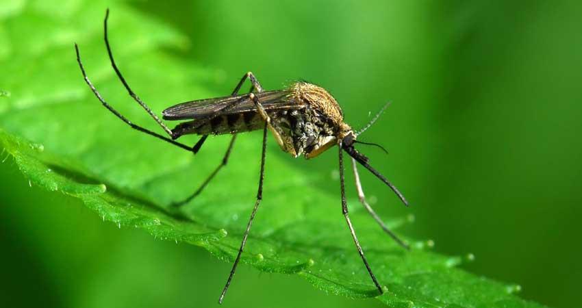 इस देश के वैज्ञानिकों ने खोज निकाला डेंगू मच्छरों के रोकथाम का अनोखा तरीका
