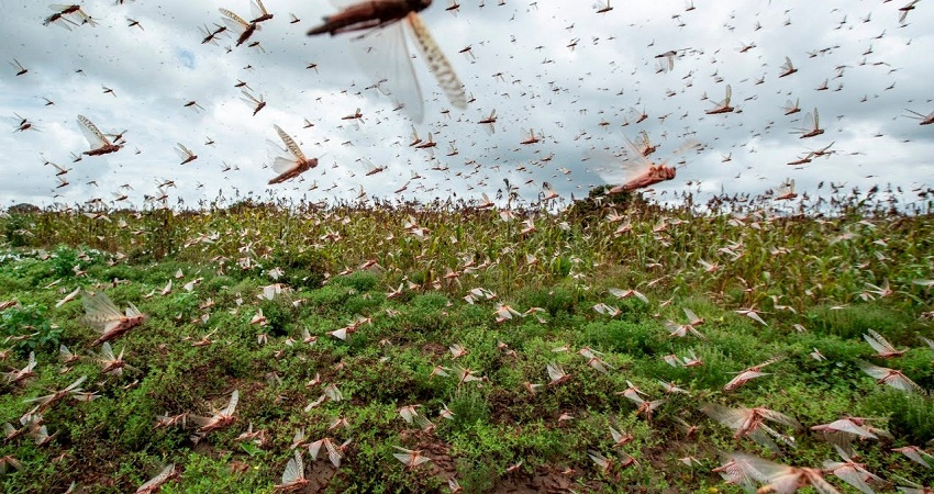 दिल्ली में पहले भी 2 बार हो चुका है टिड्डियों का हमला, पूरी हरियाली चट कर गया था टिड्डी दल
